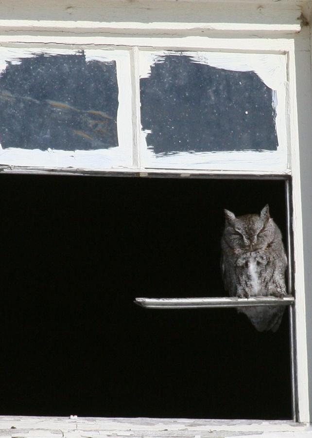 Screech Owl Perch
