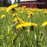 Dandelion Field_small