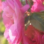 Roses in June_small
